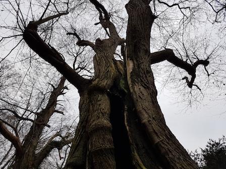 Dikste boom van Nederland